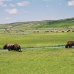 Des bisons et...des bisons (Yellowstone)