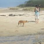 Fraser Island: un dingo!