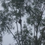Magnetic Island: un koala!