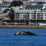 Mossel Bay: une baleine!